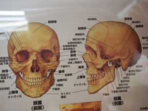 ゆがみの改善!~頭蓋骨のゆがみ~